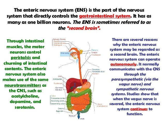 the role of neurotransmitters in the nervous system The nervous system plays an important role in the smooth functioning of the different parts of our body it is basically a complex network of cells with specialized functions these cells communicate with each other by means of electrochemical waves.