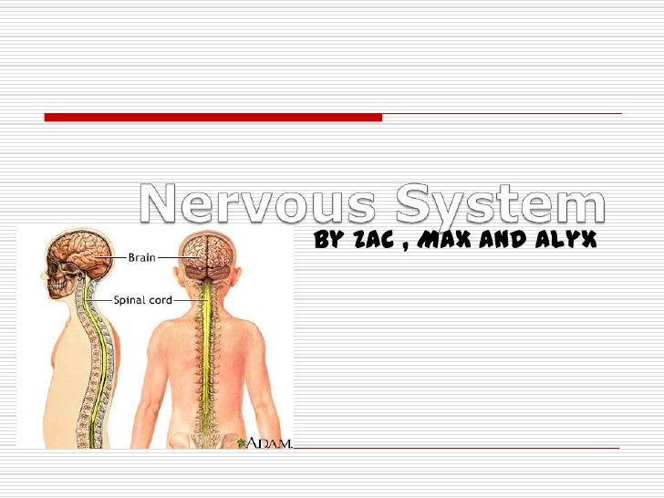 Nervous System<br />By Zac , Max and Alyx <br />