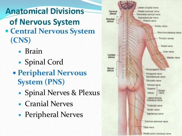 11 Organ Systems Of The Body And Their Functions together with Lymphatic System additionally Organs On The Right Side Of Body Anatomical Diagram Of Body Tag Internal Organs Of Human Body Right also Digestive System Main Parts And Functions Digestiv Esystem Organ Functions Anatomy Human Chart as well Functions Of Human Respiratory System. on main parts of the endocrine system anatomy