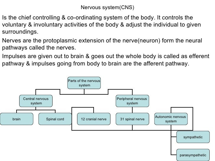 Nervous system(CNS) Is the chief controlling & co-ordinating system of the body. It controls the voluntary & involuntary a...