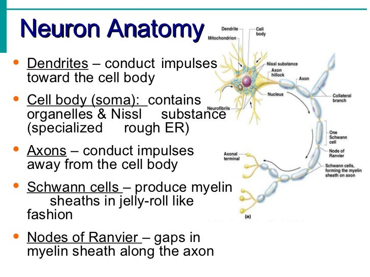 Neuron anatomy activity