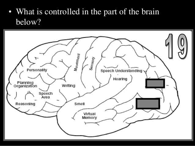 Nervous System, Brain, Neurons, Senses Organs, PowerPoint