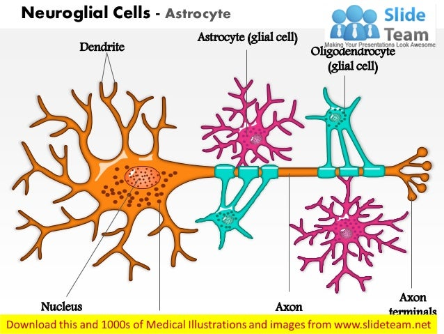 Neuroglial cells astrocyte medical images for power point