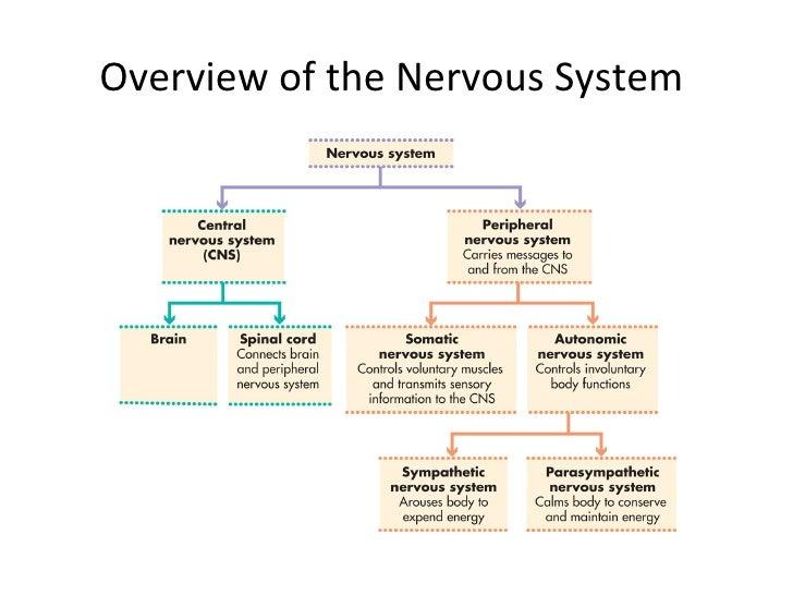 nervous system summary
