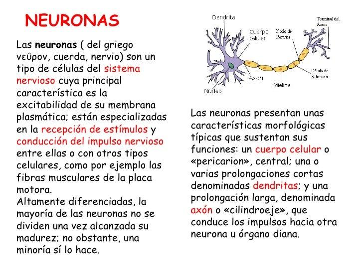 Las  neuronas  ( del griego νεῦρον, cuerda, nervio) son un tipo de células del  sistema nervioso  cuya principal caracterí...
