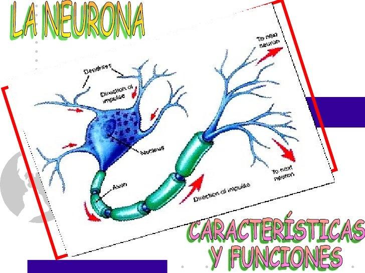 LA NEURONA CARACTERÍSTICAS  Y FUNCIONES