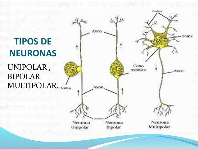 SISTEMA NERVIOSO  Mind42 Free online mind mapping software