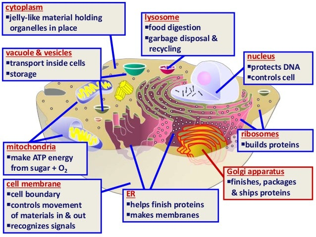 Cell Membrane Of A Motor Neuron