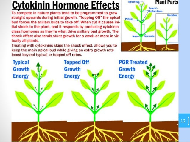 the use of auxins and their effects on rooting The possibilities of using auxin- synergists in the rooting of difficult-to-root plants have not been investigated so far, most studies on synergism have been done on easy-to-root herbaceous cuttings and it remains to be seen whether the conclusions drawn from such materials would also hold true for difficult-to-root materials the mode of action of.
