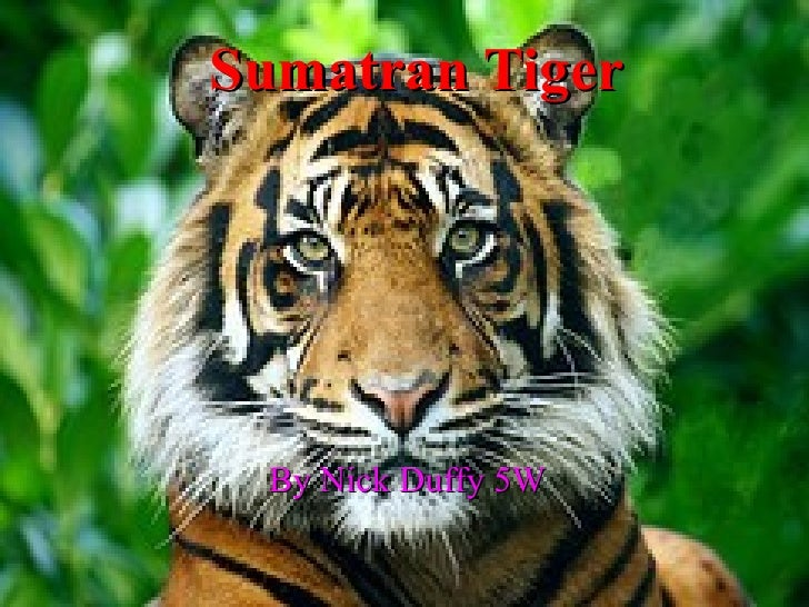 Sumatran Tiger By Nick Duffy 5W