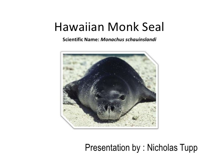 Hawaiian Monk Seal Scientific Name: Monachus schauinslandi          Presentation by : Nicholas Tupp