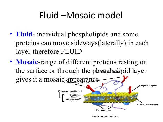 fluid mosaic model of plasma membrane Given the prevalence of these complex interactions involving proteins in the plasma membranes of mammalian cells, there is surprisingly little room for free diffusion of membrane proteins such as that predicted by the fluid mosaic model.
