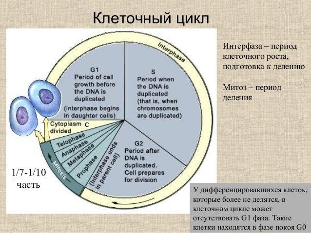 цикл Интерфаза – период