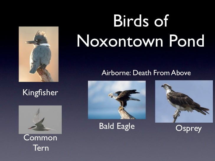 Birds of            Noxontown Pond              Airborne: Death From AboveKingfisher              Bald Eagle           Ospr...