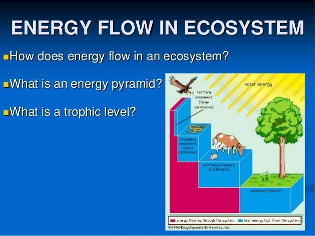 ENERGY FLOW IN ECOSYSTEM How does energy flow in an ecosystem? What is an energy pyramid? What is a trophic level?