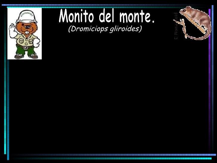 (Dromiciops gliroides)   Monito del monte.