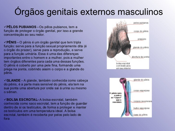 Órgãos genitais externos masculinos <ul><li>PÊLOS PUBIANOS -  Os pêlos pubianos, tem a função de proteger o órgão genital,...