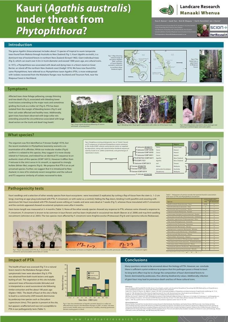 Kauri (Agathis australis)         under threat from                                                                       ...