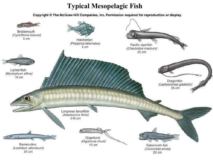 Related Keywords Amp Suggestions For Mesopelagic Fish