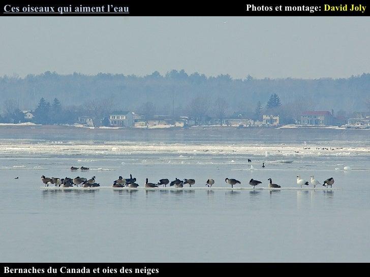 Ces oiseaux qui aiment l'eau Photos et montage:  David Joly Bernaches du Canada et oies des neiges