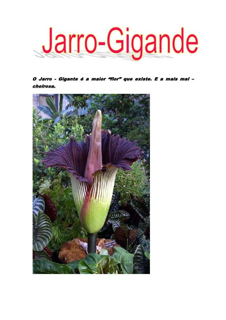 """O Jarro - Gigante é a maior """"flor"""" que existe. E a mais mal – cheirosa.<br />O Jarro – Gigante pertence a família das arác..."""