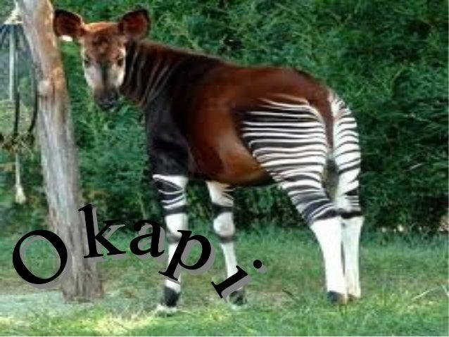 Grupo:mamífero Nombre cíentifico:Okapia Jonstoni