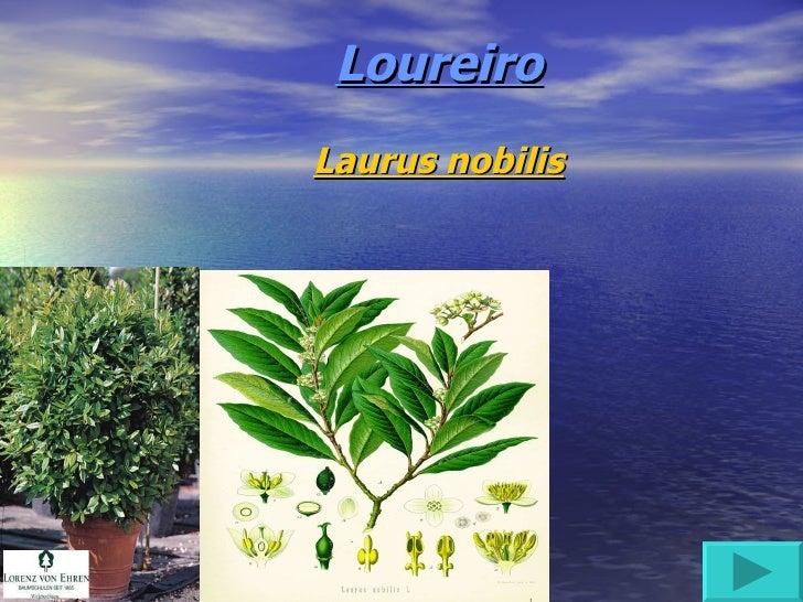 Loureiro Laurus nobilis