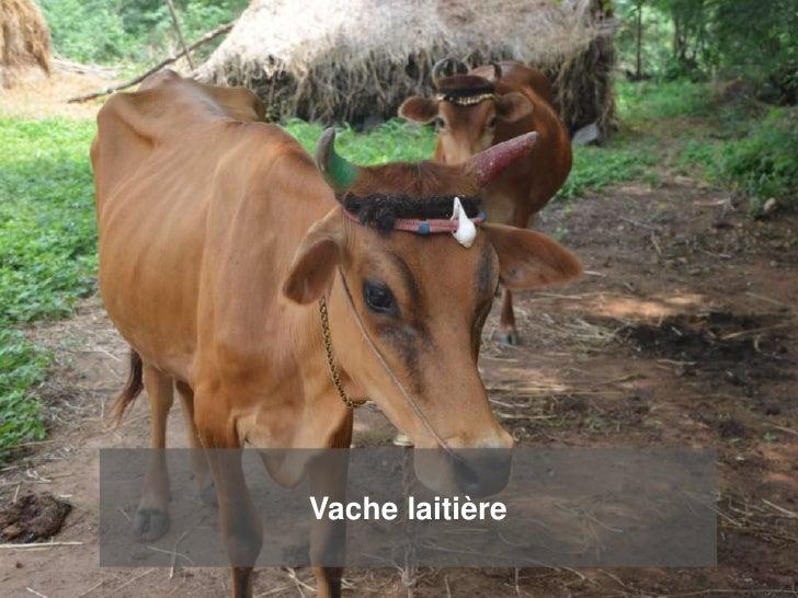 Vache laitière