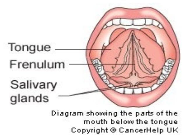 Anatomy of mouth under tongue