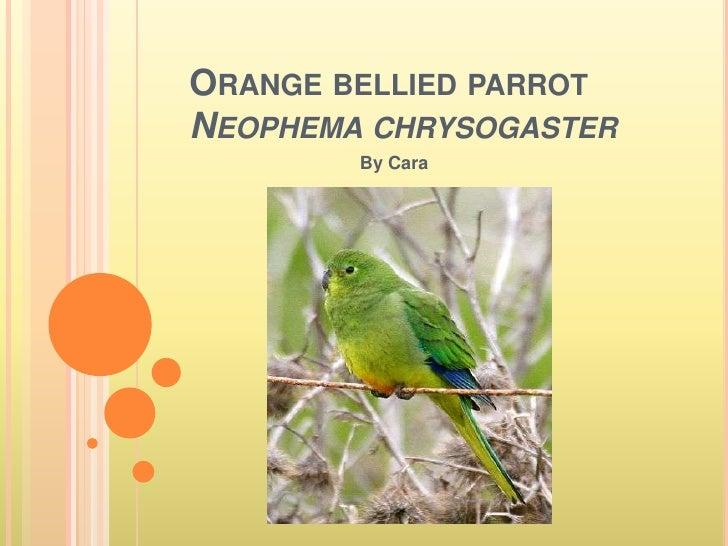 Orange bellied parrotNeophemachrysogaster<br />By Cara<br />