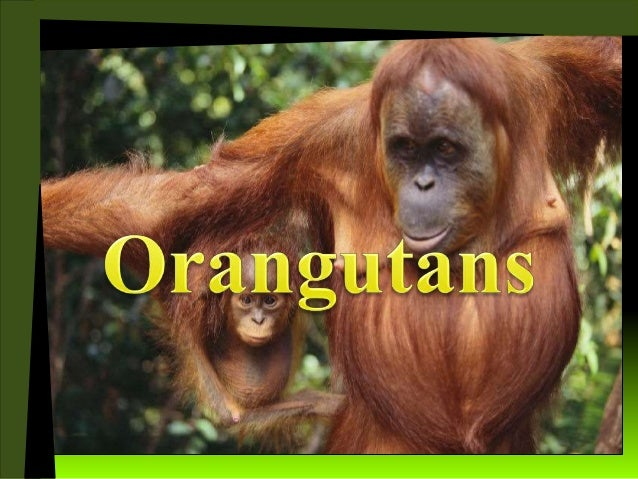 I am an Orangutan and my habitat is in Sumatra and Borneo.