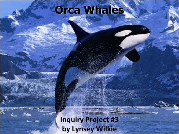 Orca Whales Inquiry Project #3 by Lynsey Wilkie
