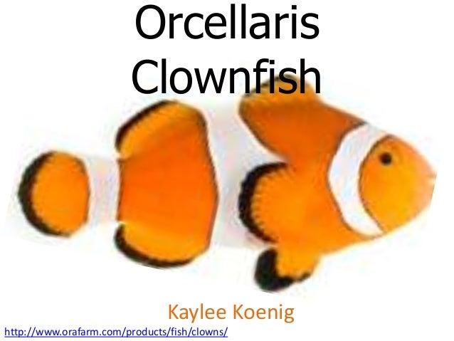 Orcellaris                        Clownfish                                Kaylee Koenighttp://www.orafarm.com/products/fi...