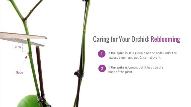 When To Water Orchids Part 1 What Is Root Rot And What Causes It in addition Where To Cut An Orchid Spike besides Orchid Care Info as well Watch additionally Orchid Care 101. on reblooming orchids