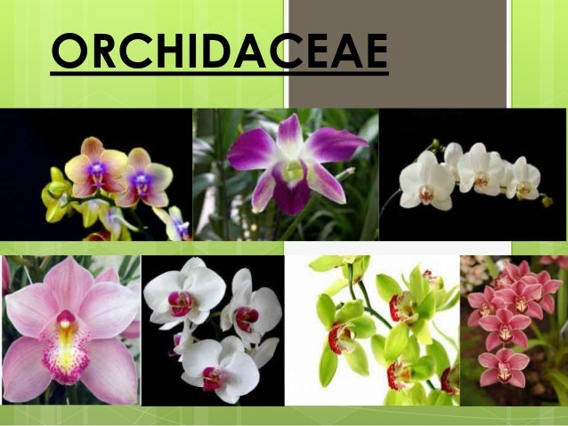 characteristics of the family Orchidaceae ppt