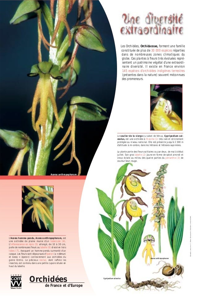 Les Orchidées, Orchidaceae, forment une famille constituée de plus de 30 000 espèces réparties dans de nombreuses zones cl...