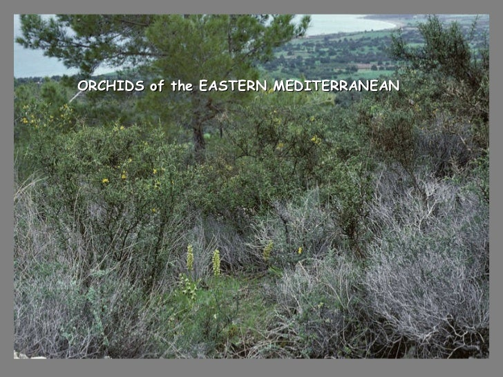 ORCHIDS of the EASTERN MEDITERRANEAN