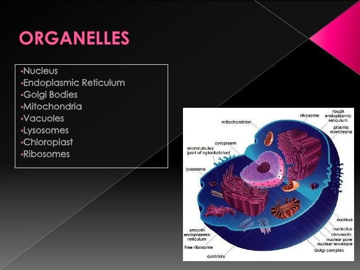ORGANELLES<br /><ul><li>Nucleus