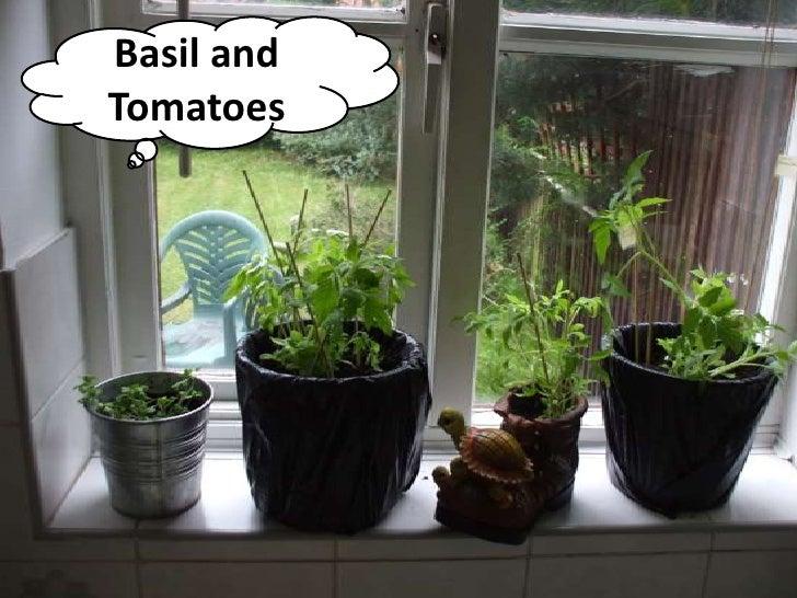 Basil andTomatoes