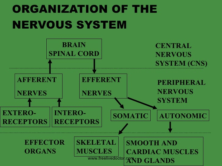ORGANIZATION OF THE NERVOUS SYSTEM BRAIN SPINAL CORD CENTRAL NERVOUS SYSTEM (CNS) PERIPHERAL NERVOUS  SYSTEM AFFERENT NERV...