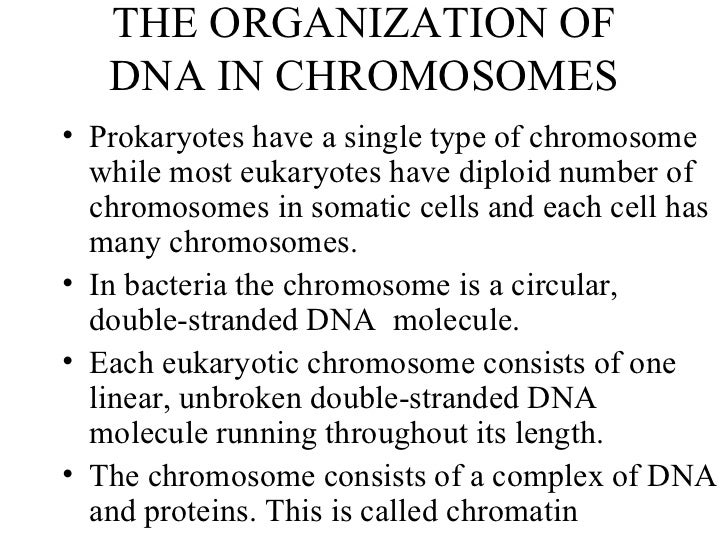 THE ORGANIZATION OF DNA IN CHROMOSOMES <ul><li>Prokaryotes have a single type of chromosome while most eukaryotes have dip...