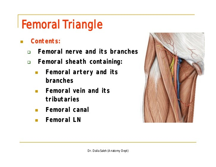 Femoral Canal Sheath - 2018 images & pictures - Anterior and medial ...