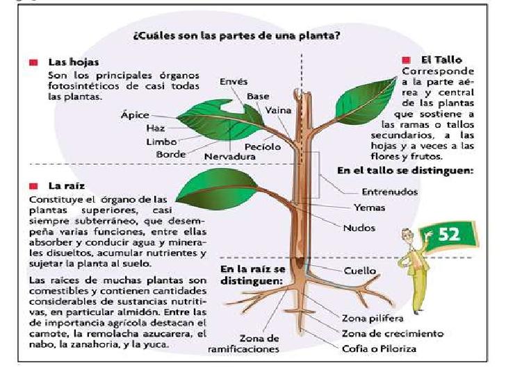 Partes principales de las plantas y su funcion imagui for Funcion de las plantas ornamentales
