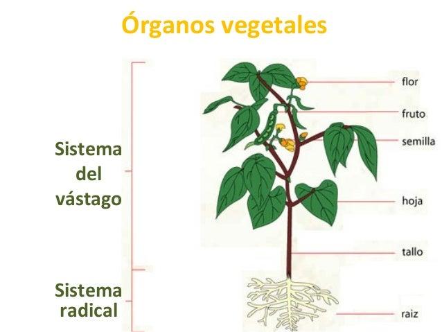 Órganos vegetales Sistema del vástago Sistema radical