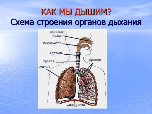 Organy dykhania