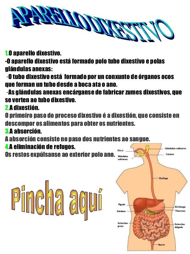 1.O aparello dixestivo. -O aparello dixestivo está formado polo tubo dixestivo e polas glándulas anexas: · O tubo dixestiv...