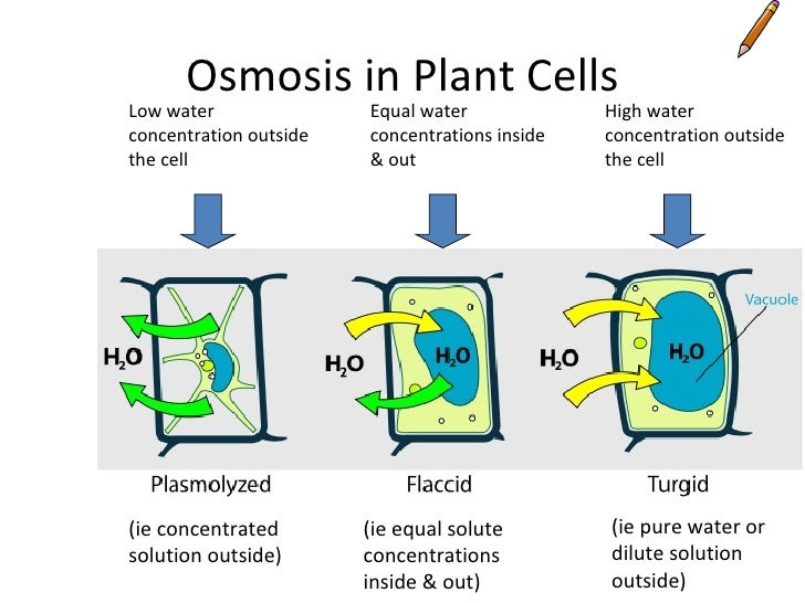 osmosis in living beet cells