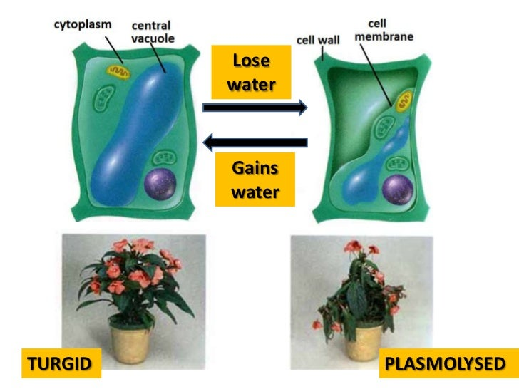 experiment turgor in potato tissue Abstract the cell turgor pressure of potato tissue was  gor in experiments where such properties are relevant  the use of discriminant analysis for interpretation.