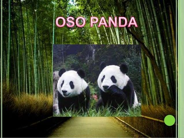 A pesar de pertenecer al orden                                          de los carnívoros, el panda es un                 ...