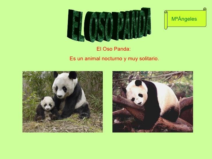 El Oso Panda:  Es un animal nocturno y muy solitario. EL OSO PANDA MªÁngeles